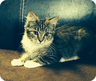 Maine Coon Kitten for adoption in Nashville, Tennessee - Gardenia