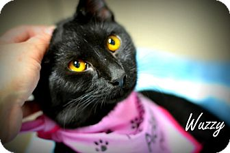 Domestic Shorthair Kitten for adoption in Everman, Texas - Wuzzy