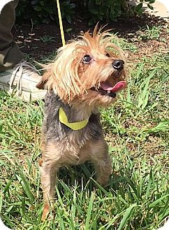 Yorkie, Yorkshire Terrier Dog for adoption in Allentown, Pennsylvania - Estel (POM-CD)