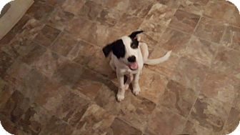 Labrador Retriever/Hound (Unknown Type) Mix Puppy for adoption in Darlington, South Carolina - Layla
