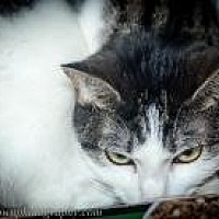 Adopt A Pet :: Tiger Lily - Wellesley, MA