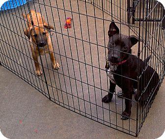 Labrador Retriever Mix Puppy for adoption in Apache Junction, Arizona - Felicity
