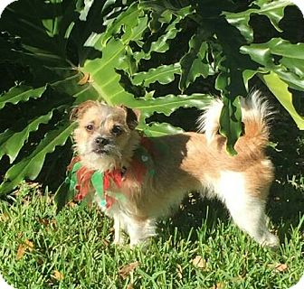 Jack Russell Terrier/Terrier (Unknown Type, Small) Mix Dog for adoption in Terra Ceia, Florida - PIP - look at that face!