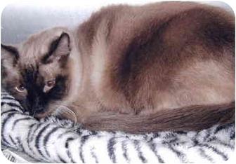 Siamese Cat for adoption in Grass Valley, California - Winston