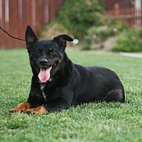 Shepherd (Unknown Type) Mix Dog for adoption in Stockton, California - Crystal