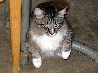 Domestic Longhair Cat for adoption in Naples, Florida - Sundance