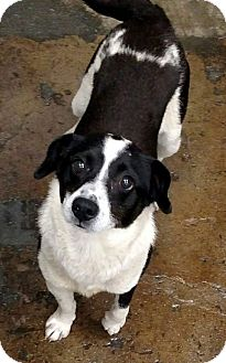Beagle/Terrier (Unknown Type, Medium) Mix Dog for adoption in Rockford, Illinois - Smuggle