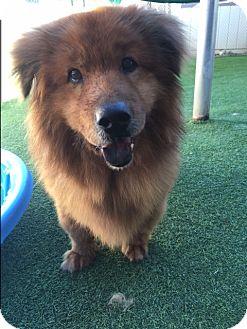 Chow Chow/Retriever (Unknown Type) Mix Dog for adoption in Sacramento, California - Maggic