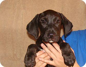Labrador Retriever/Golden Retriever Mix Puppy for adoption in Oviedo, Florida - Yukon