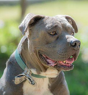 American Staffordshire Terrier Mix Dog for adoption in La Jolla, California - Winston