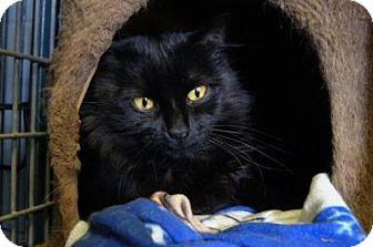 Domestic Mediumhair Cat for adoption in New Milford, Connecticut - Dreama