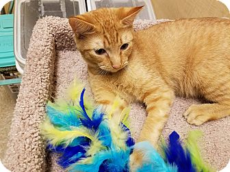Domestic Shorthair Cat for adoption in Arlington/Ft Worth, Texas - Yoda