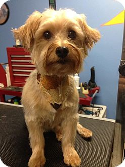 Silky Terrier Dog for adoption in Mt Gretna, Pennsylvania - Bobbie Jo