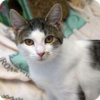Domestic Shorthair Cat for adoption in Denver, Colorado - Hardvard