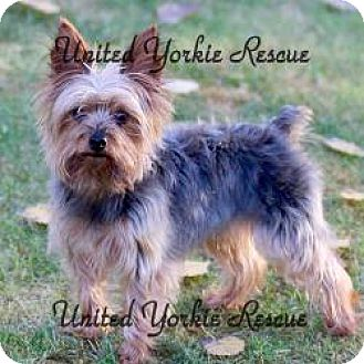 Yorkie, Yorkshire Terrier Dog for adoption in Hobart, Wisconsin - Tyson