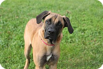 Great Dane Mix Puppy for adoption in Manahawkin, New Jersey - Scooby