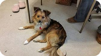 Chihuahua/Pomeranian Mix Dog for adoption in Las Vegas, Nevada - Mister