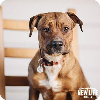 Labrador Retriever/Boxer Mix Dog for adoption in Portland, Oregon - Lil Red
