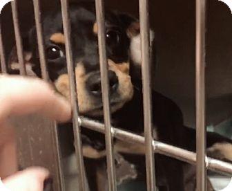 Dachshund Mix Puppy for adoption in New York, New York - Hogie