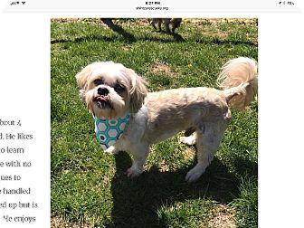Shih Tzu Dog for adoption in LEXINGTON, Kentucky - Lucky