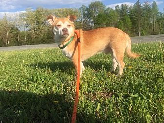 Chihuahua Mix Dog for adoption in Richmond, Virginia - Hassie
