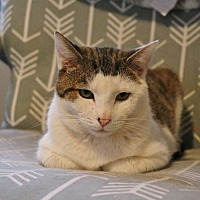 Domestic Shorthair Cat for adoption in Athens, Georgia - Charlie