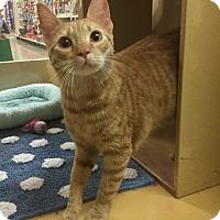 Adopt A Pet :: Prince Harry - Houston, TX