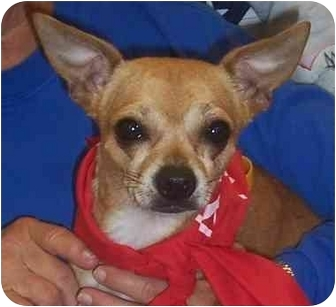 Chihuahua Dog for adoption in Overland Park, Kansas - Pedro