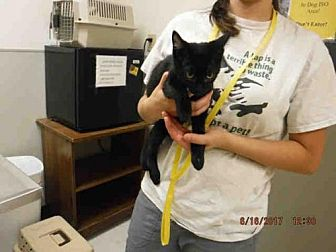 Domestic Shorthair Cat for adoption in Oroville, California - A574471