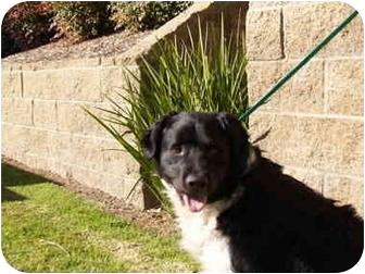 Border Collie/Spaniel (Unknown Type) Mix Dog for adoption in El Cajon, California - Sparky