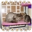 Photo 2 - Maine Coon Cat for adoption in KANSAS, Missouri - Freddie