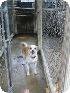 Chihuahua Mix Dog for adoption in Anderson, Indiana - Charlie