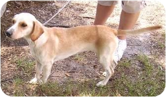Beagle/Dachshund Mix Dog for adoption in Umatilla, Florida - Charley
