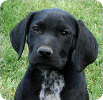 Labrador Retriever/Bluetick Coonhound Mix Puppy for adoption in Colville, Washington - Auggie