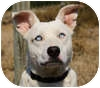 Australian Cattle Dog Mix Dog for adoption in Portola, California - Skye