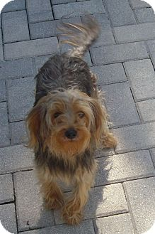 Silky Terrier Mix Dog for adoption in Cantonment, Florida - Timmy