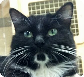 Domestic Longhair Cat for adoption in Winchester, California - Annie
