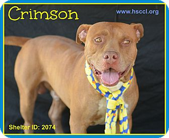 Pit Bull Terrier Mix Dog for adoption in Plano, Texas - Crimson