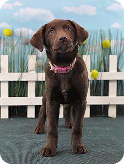 Labrador Retriever Mix Puppy for adoption in Wilmington, Delaware - Paris
