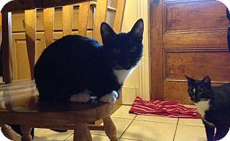 Domestic Shorthair Kitten for adoption in Staten Island, New York - Oreo