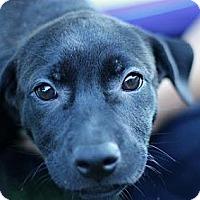 Adopt A Pet :: Maribel - South Jersey, NJ