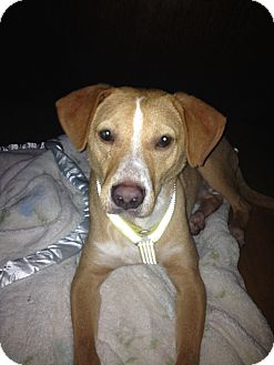 Chesapeake Bay Retriever/Pharaoh Hound Mix Dog for adoption in Brooklyn, New York - Mr. Wiggles