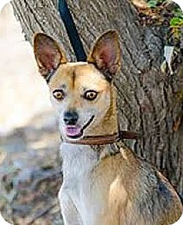 Basenji/Spitz (Unknown Type, Small) Mix Dog for adoption in Pasadena, California - BUDDY