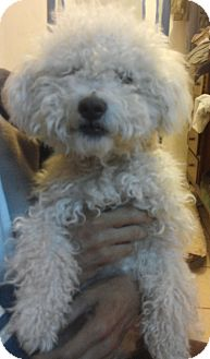 Poodle (Miniature) Mix Puppy for adoption in North Hills, California - Lui Napoleon