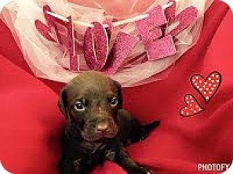 Labrador Retriever Mix Puppy for adoption in Darlington, South Carolina - Benji