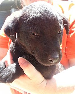 Labrador Retriever/Shepherd (Unknown Type) Mix Puppy for adoption in Florence, Indiana - Bernie