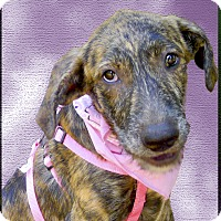 Adopt A Pet :: Lindy big beauty - Sacramento, CA
