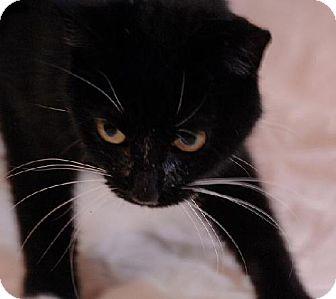 Domestic Longhair Cat for adoption in Fort Walton Beach, Florida - Treadmill