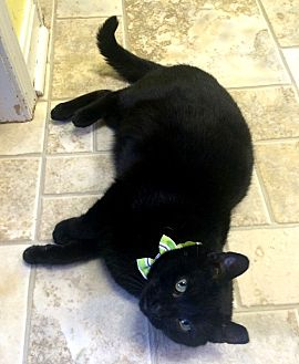 Domestic Shorthair Cat for adoption in Stevensville, Maryland - Kanga