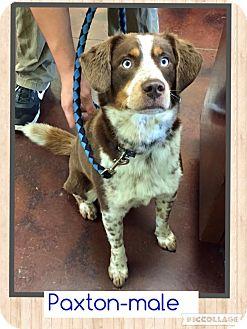 Australian Shepherd/Labrador Retriever Mix Dog for adoption in Columbus, Ohio - Paxton